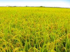 常州市溧阳市104国道500亩水稻田
