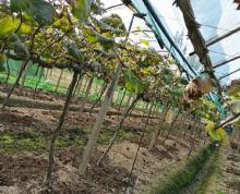 (转让)住房宽敞,设施齐全,灌溉与排水便利,阳光玫瑰新苗
