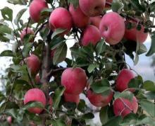 (转让)赣榆区53亩苹果园转让