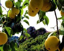 泗阳城北小区270亩水果采摘园