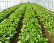南通市港闸区花桥村二千亩种植蔬菜大棚
